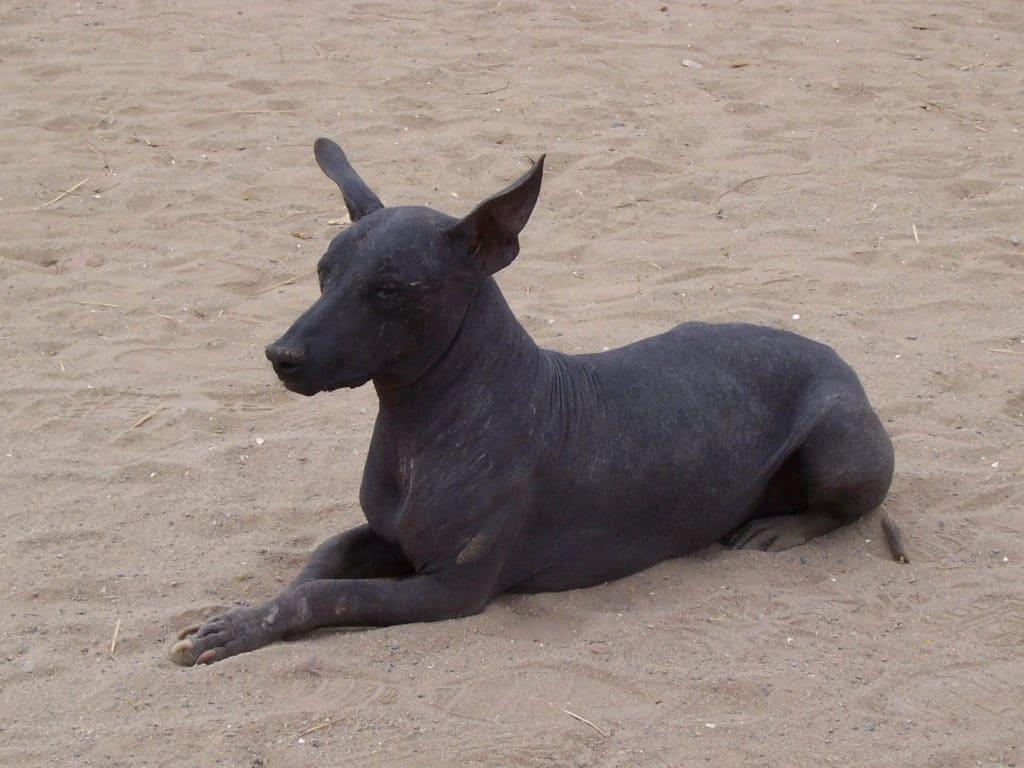 perro peruano  la raza de perro sin pelo preferida de los