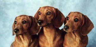 perro-salchicha-perro-salchicha