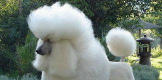 perros caniche