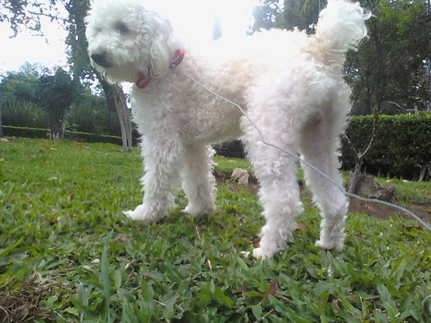 perro poodle