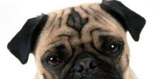 Perro carlino