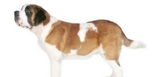 perro san bernardo