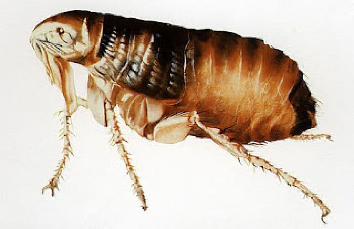 10 remedios caseros para eliminar las pulgas en los perros - Como eliminar las pulgas de casa remedio casero ...