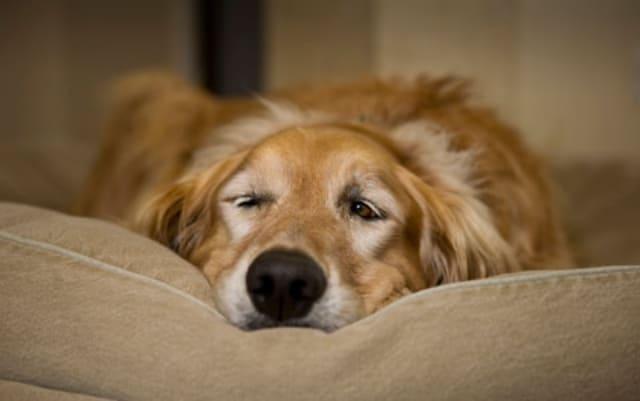 parvovirus en perros