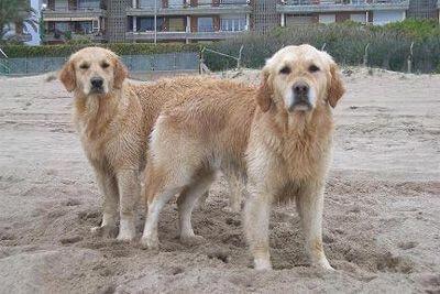 por que los perros se pegan cuando se aparean