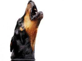 razones por las que aullan los perros