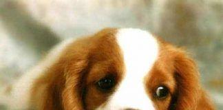 parasitos en perros