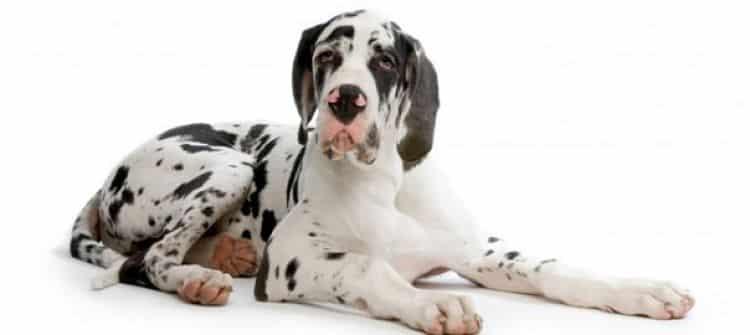 Los perros de razas grandes son más propensos a padecer Torsión Gástrica