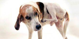 enfermedades de la piel en perros