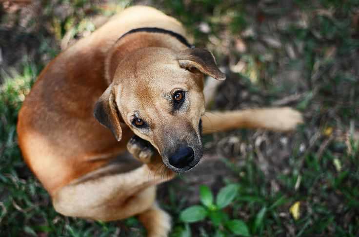 como curar la sarna en perros