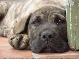 gastroenteritis en perros