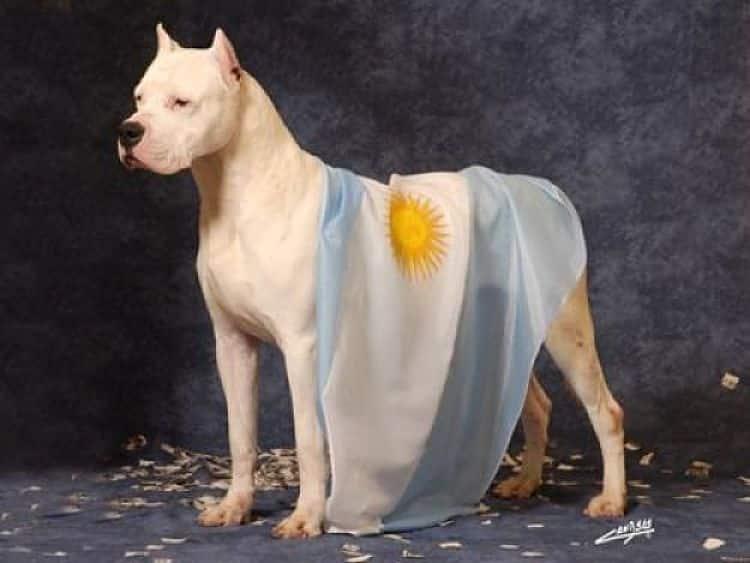 Hermoso ejemplar de Dogo Argentino