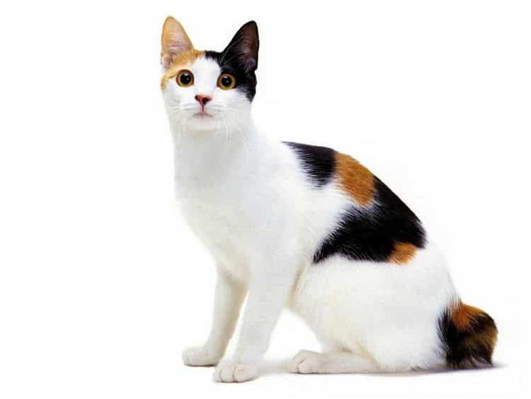 Sigue las recomendaciones y mantén a tu gato libre de Leucemia Felina