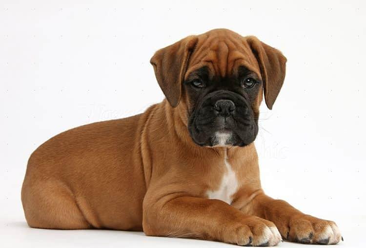 Boxer Show Dog