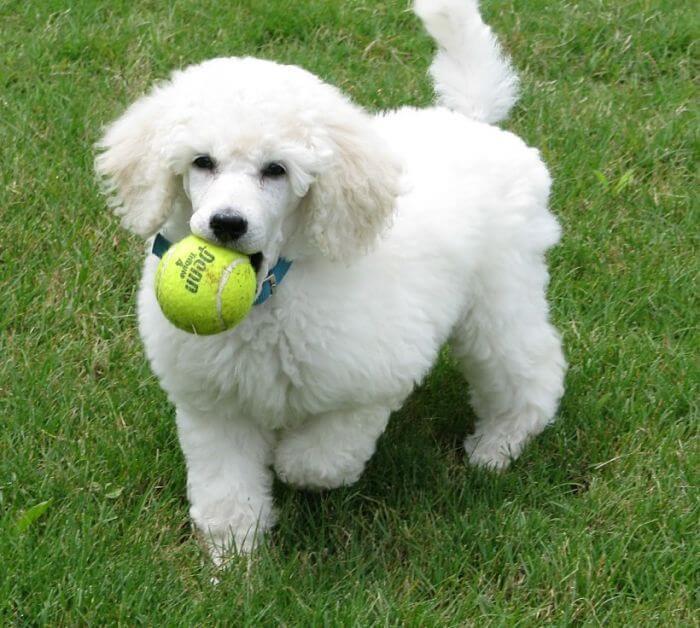 raza de perros french poodle