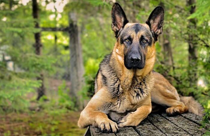 raza de perros guardianes