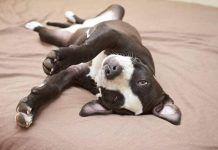 por que convulsionan los perros