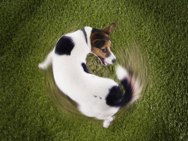 por que los perros se persiguen la cola
