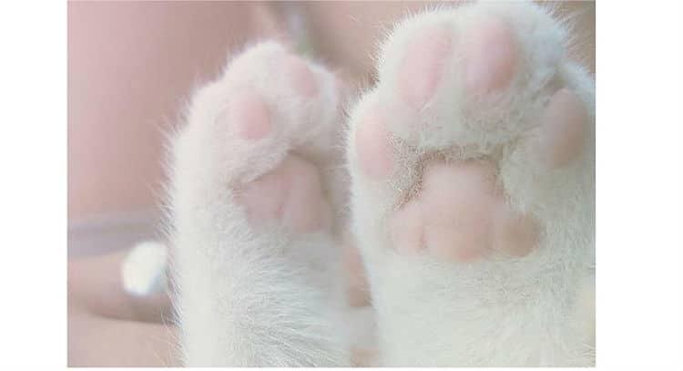Los gatos sudan mayormente por las almohadillas