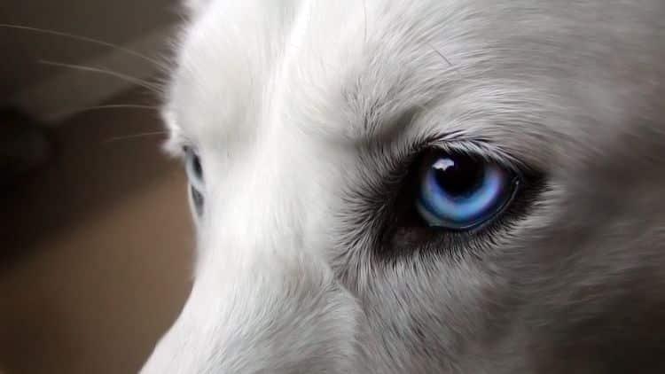 Los ojos de nuestros perros son propensos a padecer ciertas condiciones