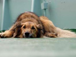 diarrea con sangre en perros