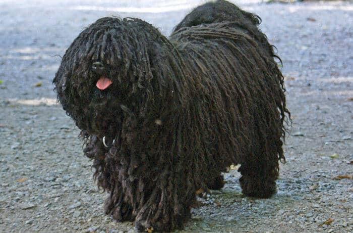 perros puli