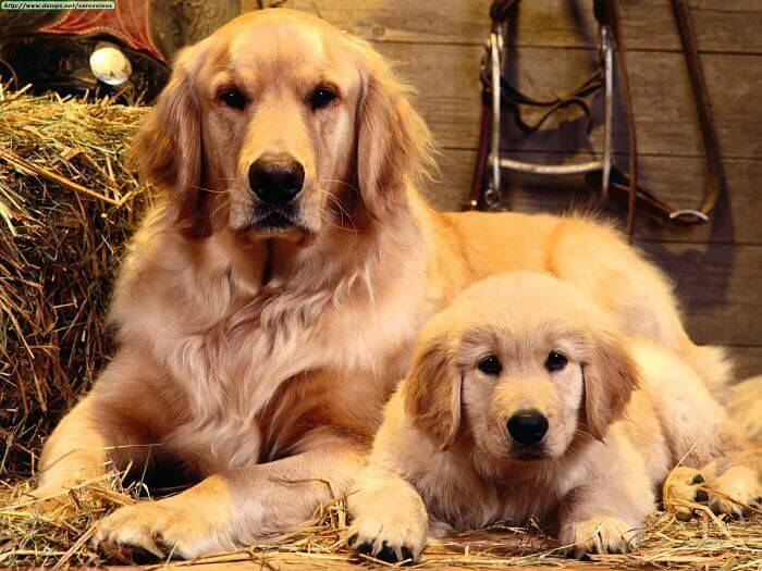 raza de perros Golden Retriever