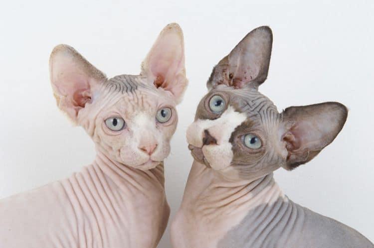 La característica falta de pelo del Sphynx lo hacen muy popular entre las razas exóticas de gatos