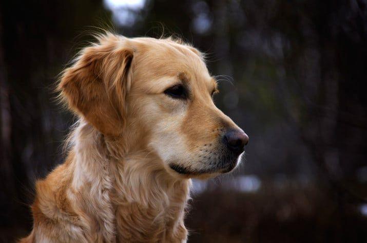 insuficiencia renal en perros