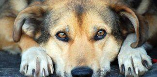 la adopcion de perros