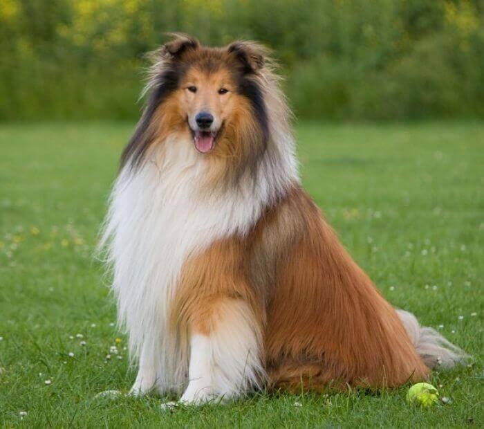 perros Collie