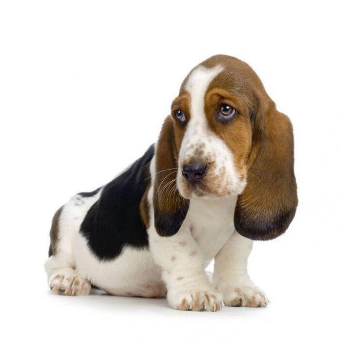 perros basset hound
