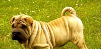 perros shar pei