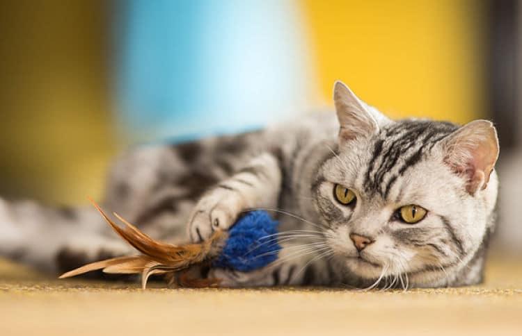 Los gatos pueden comenzar juegos por su cuenta