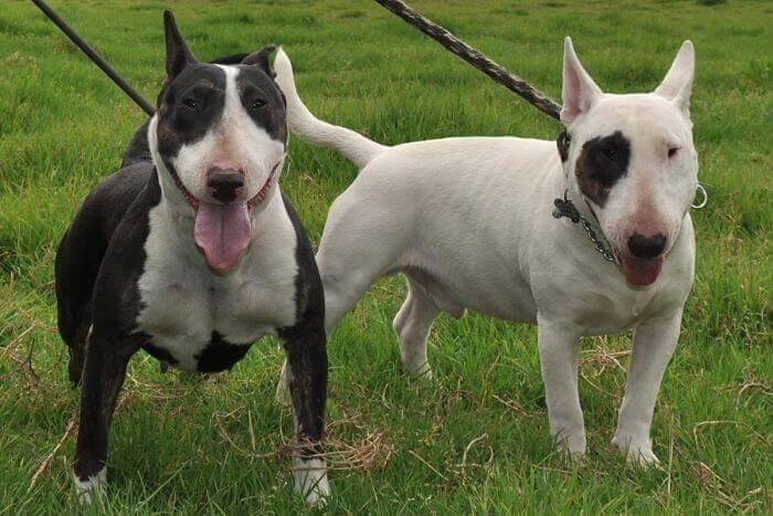 perros Bull terrier