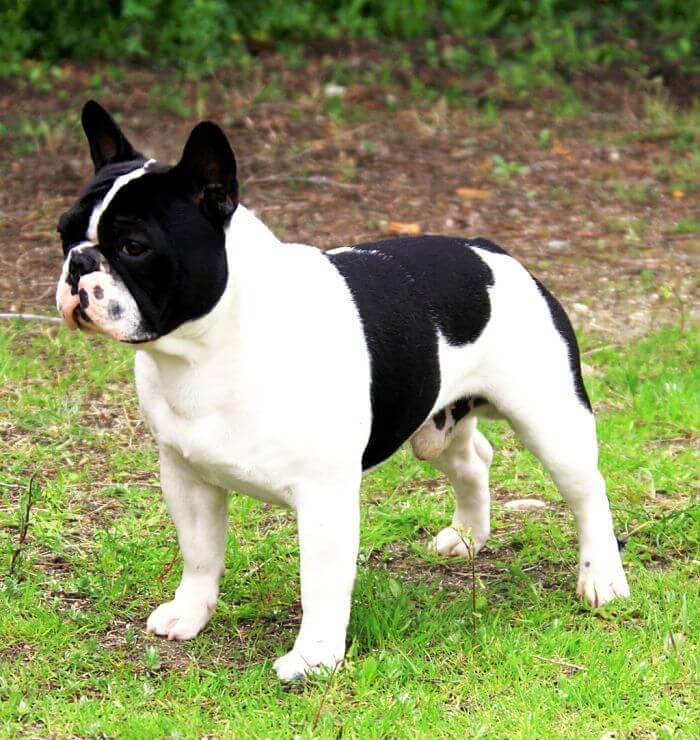 Las 5 cualidades que no sab237as de los perros bulldog frances : perros bulldog francesopt compressor 1 1 from mascotafiel.com size 700 x 740 jpeg 86kB