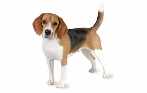 raza de perros beagle