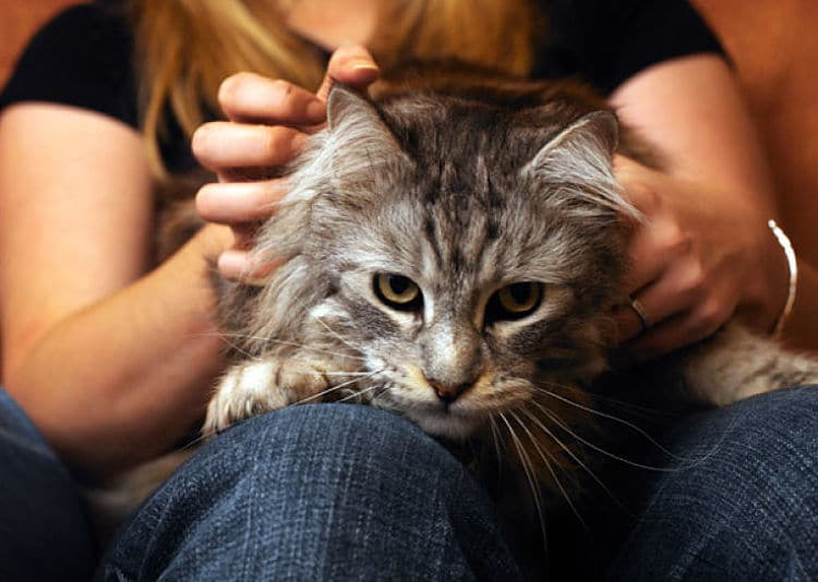 Los gatos masajean o amasan para relajarse o demostrar felicidad