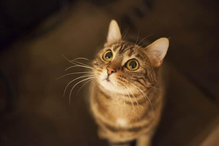 Tu gato quizás te mirará fijamente para pedirte algo, por ejemplo, comida