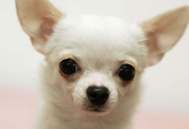 Los pequeños Chihuahua