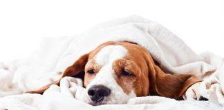 enfermedades-que-transmiten-los-perros-1