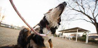 roña en perros