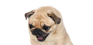 razones de vomito en los perros