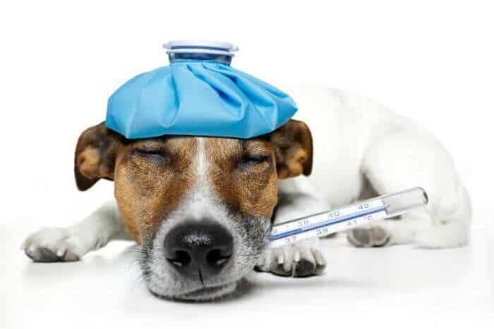 la fiebre en perros