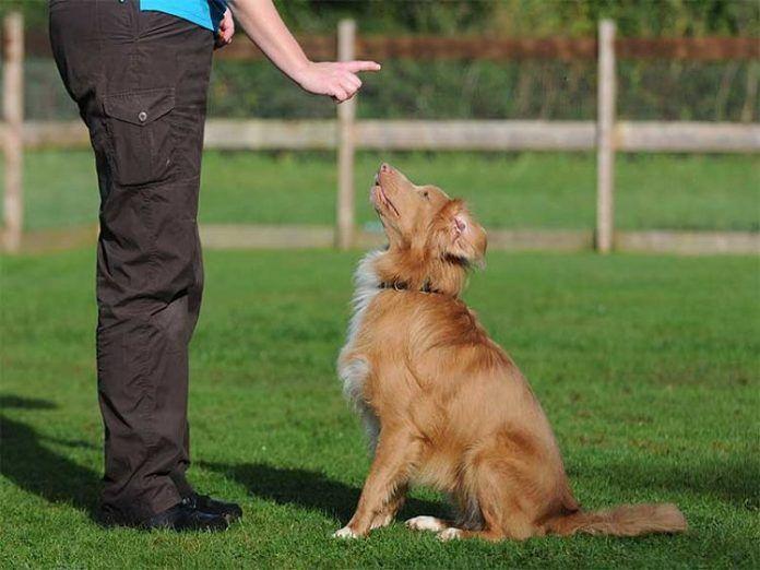 Cómo educar a un perro adulto