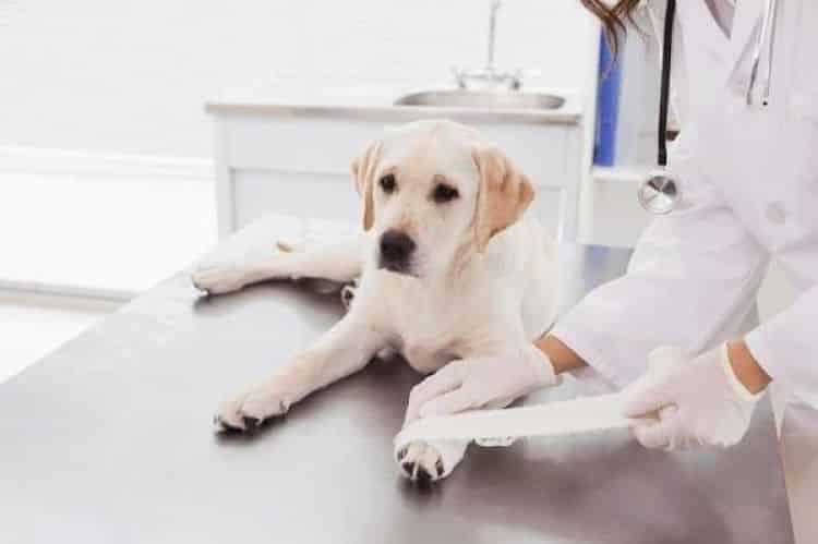 curar heridas a perros