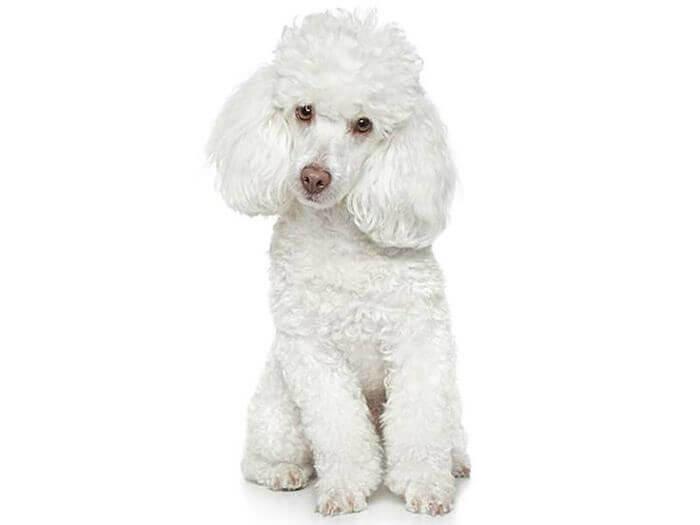 Los Perros Poodle, Guia Completa Para Conocerlo A Fondo
