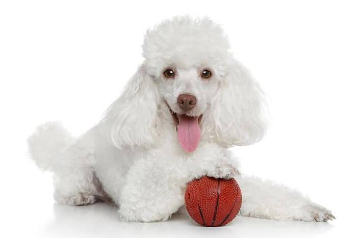 Los Perros Poodle Guia Completa Para Conocerlo A Fondo