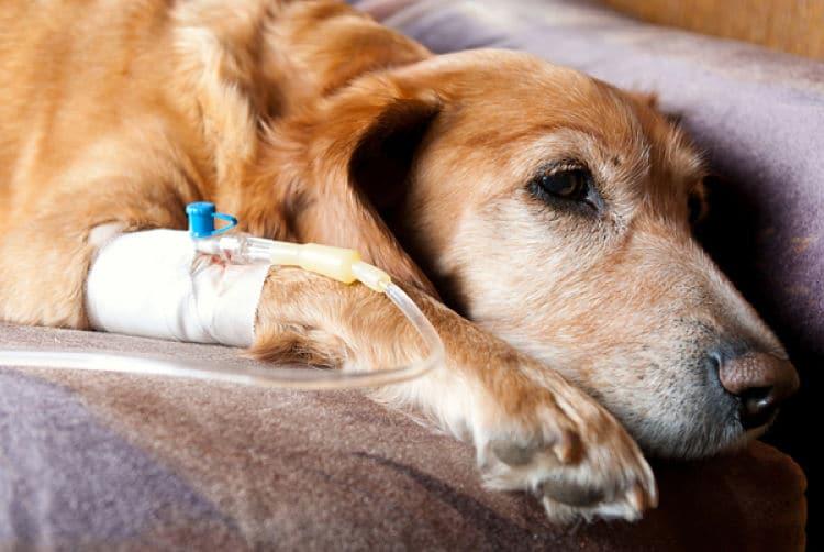 Tratamientos para el cáncer en perros