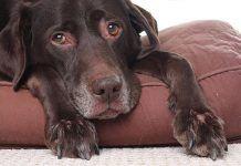 Síntomas de la epilepsia canina